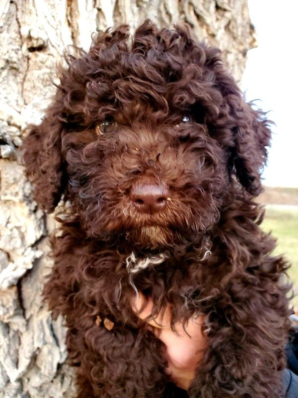 Spanish Water Dogs HYPOALLERGENIC No Shed!
