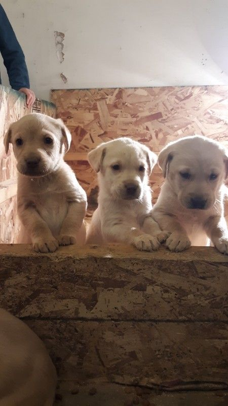 Pure breed Yellow Lab puppies