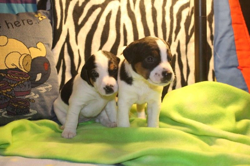 2 Left!! Ready for Homes! Jack Russell Terriers!