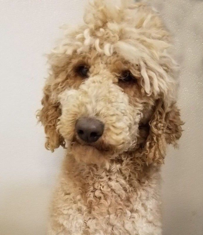 AKC CKC Apricot Poodle Stud- OFA and tested