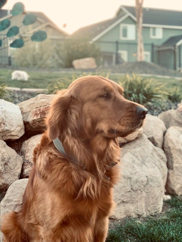 AKC/TESTED-DARK Golden Retriever Booking NOW!