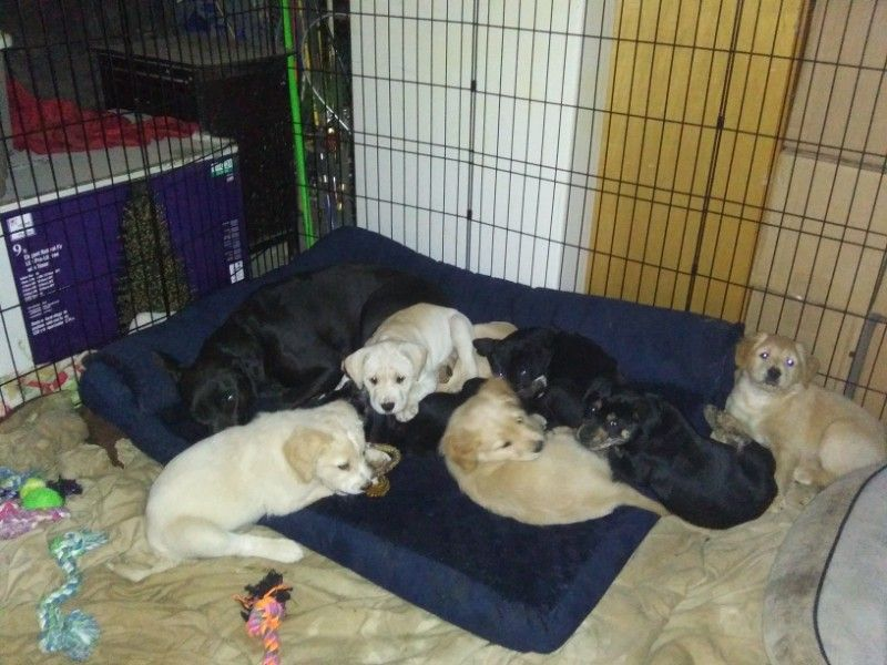 Valentines Day pups-- ready NOW! 3 black lab/ retr