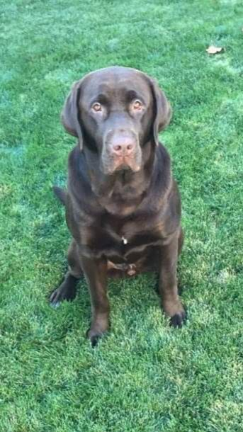 AKC Chocolate Lab Stud