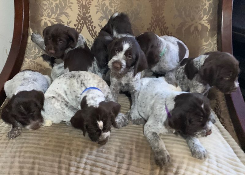 Wire Haired Griffon Puppies ready for happy homes