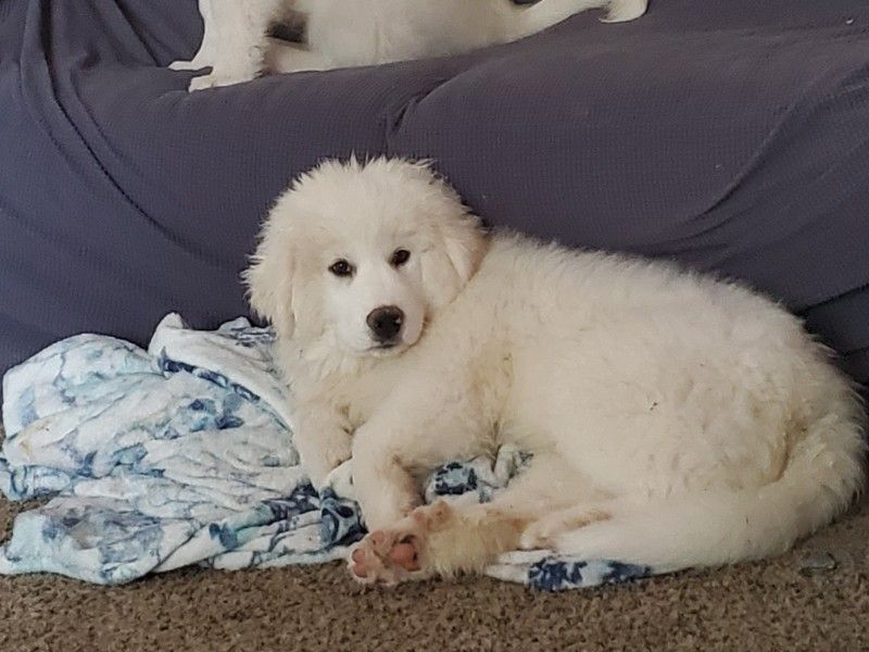 3 month old great pyrenees puppies