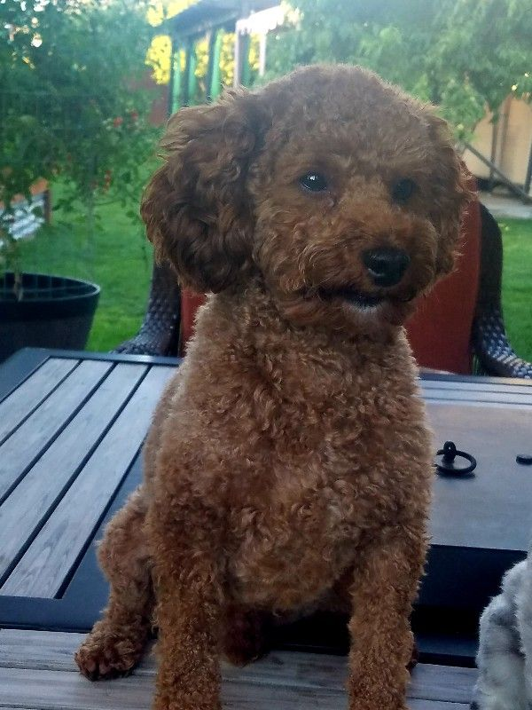 AKC/CKC/DNA 10lb Health tested Red Toy Poodle Stud