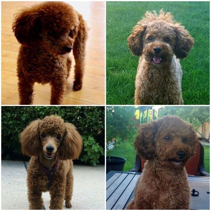 Large Toy Red Poodle Stud Boise HEALTH TESTED