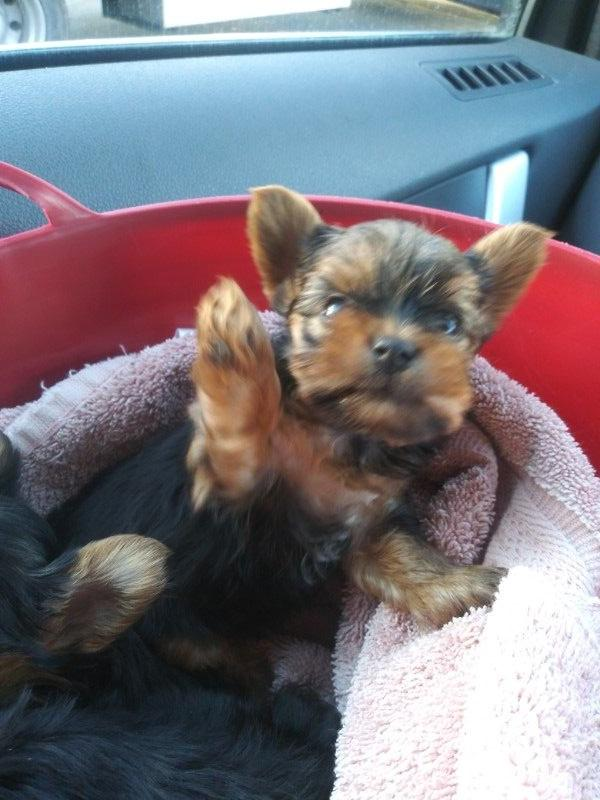 AKC Yorkie pups available Valentine's day