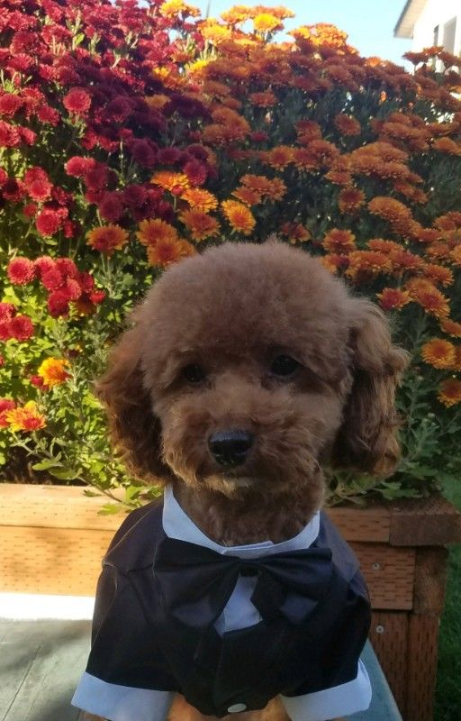 Toy AKC/CKC Red Poodle Stud Boise HEALTH TESTED