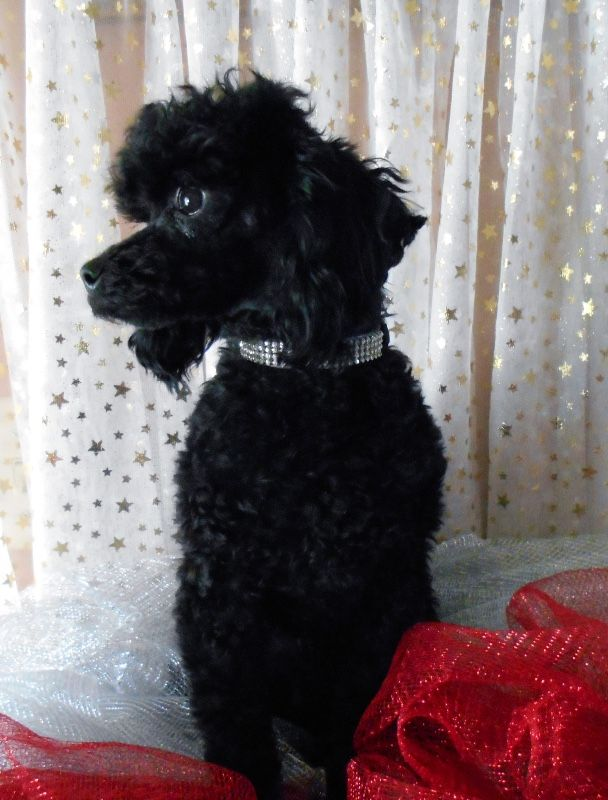 AKC JET BLACK SMALL TOY/MINIATURE POODLE STUD DOG