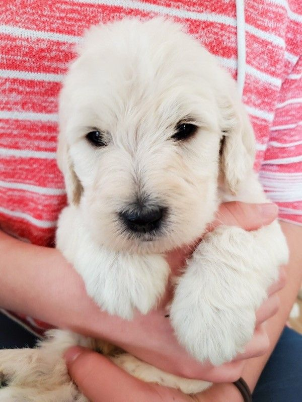Labradoodles f1b No shed